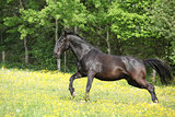 Kladruber running in yellow flowers on pasturage