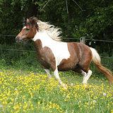 Pony running in yellow flowers on pasturage