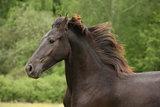 Friesian horse running on pasturage in summer