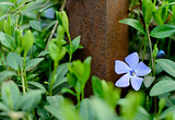 Periwinkle Flower Growing in the Garden