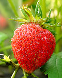 Red Ripe Strawberry Growing in a Garden