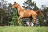 Running horse with beautiful chestnut color on pasturage