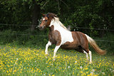 Pony running in yellow flowers on pasturage