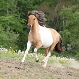 Pony running on pasturage in hot summer