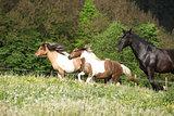 Two ponnies running before black kladruber on pasturage