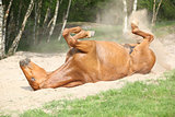 Chestnut horse rolling in the sand in hot summer