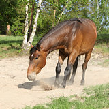 Brown horse lying down in the sand in hot summer