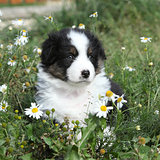 Nice little puppy of australian shepherd in flowers