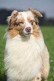 Portrait of gorgeous australian shepherd in nature