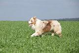 Beautiful australian shepherd smiling and running in nature