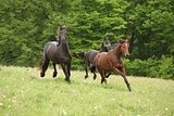 Two black and one brown horses running in nature