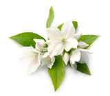 White flowers of jasmine