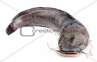 Channel catfish isolated