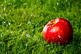 Red apple laying on the grass in the rain.