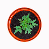 Tomato Plant in Terracotta Pot - isolated on white background.