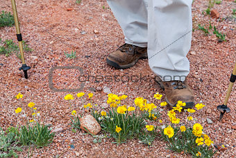hiker and desert wildflowers