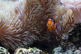 Beautiful Clownfish and Sea Anemone
