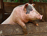 Pork. Pig stands on its hind legs, resting on the formwork paddock.  Pig in private farms. Animals on the farm. Meat breeds of animals, pig-breeding, animal breeding.
