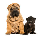 Shar pei puppy and Black Leopard cub sitting next to each other,