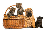 Sharpei puppy with Black Leopard cub and Spotted Leopards cubs i