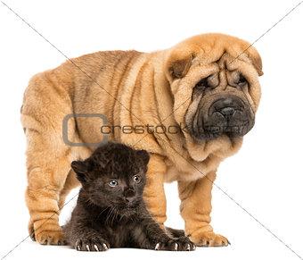 Black Leopard cub lying down under a Shar pei puppy standing, is
