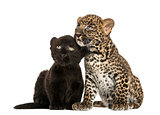 Black and Spotted Leopard cubs sitting next to each other, isola