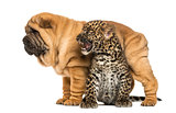 Shar pei puppy standing over a roaring spotted Leopard cub, isol