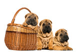 Three Sharpei puppies, sitting, lying and put in a wicker basket