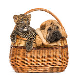 Sharpei puppy and spotted Leopard cub in a wicker basket, isolat