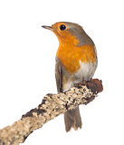 European Robin perched on a branch - Erithacus rubecula - isolat