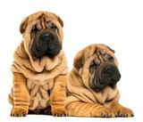 Two Shar pei puppies sitting and lying next to each other, isola