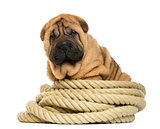 Shar pei puppy (11 weeks old) sitting on rope - isolated on whit