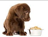 Labrador Retriever Puppy sitting with his full dog bowl, isolate