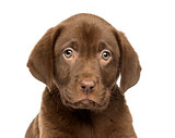 Close-up of a Labrador Retriever Puppy, 2 months old, isolated o