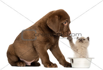 Sitting Labrador Retriever Puppy looking at a British Longhair k