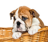 Close-up of an English Bulldog Puppy, 2 months old, in a wicker