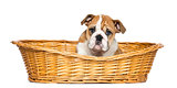 English Bulldog Puppy in a wicker basket, 2 months old, isolated