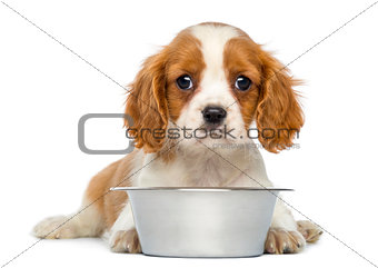 Cavalier King Charles Puppy lying in front of an empty metallic
