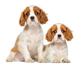 Two Cavalier King Charles Puppies, 2 months old, sitting and lyi
