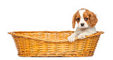 Cavalier King Charles Puppy, 2 months old, in a wicker basket, i