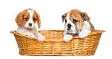 Cavalier King Charles and English Bulldog puppies, sitting in a