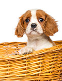 Close-up of a Cavalier King Charles Puppy, 2 months old, in wick