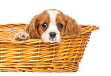 Close-up of a staring Cavalier King Charles Puppy, 2 months old,