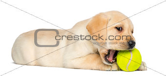 Labrador Retriever Puppy, 2 months old, lying and chewing a tenn