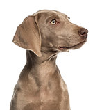 Close-up of a Weimaraner puppy profile, 2,5 months old, isolated