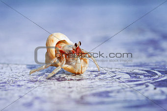 a close-up of the little hermit crab
