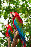 Big macaw parrots in nature