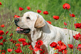 A yellow labrador in the poppy field