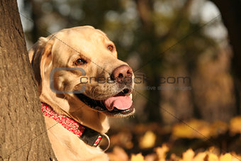A yellow labrador in the autumn park