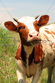 a young cow